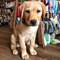 Dog Design, Labrador Retriever, Green Bean, Dogs, Animals, Life, Labrador Retrievers, Green Beans, Animales