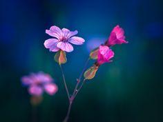 'Purple Bloom'