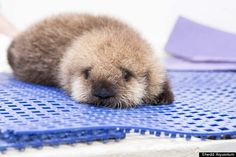Orphaned Baby Sea Otter Gets A New Chicago Home | IFLScience http://www.iflscience.com/plants-and-animals/orphaned-baby-sea-otter-gets-new-chicago-home