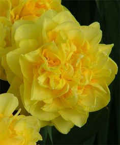"""Narcissus Sherborne    Boasting of Camelot heritage, this award-winning English hybrid has peony-like, 4""""+ golden-yellow flowers interspersed with rich orange petaloid segments. Its big puffball flowers are extremely strong~they stand up out of its foliage and look right at you."""