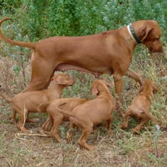 Ridgeback and pups: for Brandon