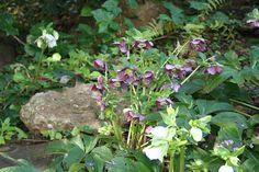 Part Sun Perennials, Lenten Rose, Shade Plants, Shade Garden, Life Is Beautiful, Botanical Gardens, Garden Landscaping, Bloom, Landscape