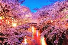 Download Cool Cherry Blossom Wallpaper For Lockscreen High Quality Hd Wallpaper In 2k 4k 5k 8k 10k Resolution Bloesembomen Japanse Kersenbloesems Kersenbloesem