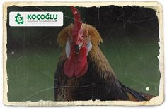 Salma tavukçuluk nasıl yapılır? Tavukçuluk için gerekli ekipmanları nerede bulabilirim diyorsanız tıklayın http://www.yarkaburada.com