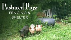 Pastured Pigs Fencing and Shelter | Blue Yurt Farms