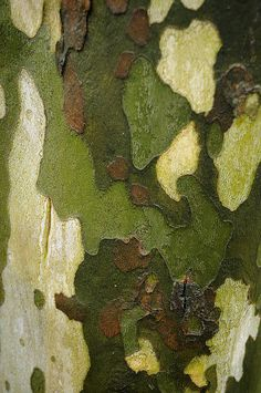 The understated colours of Sycamore tree bark. Patterns In Nature, Textures Patterns, Color Patterns, Natural Forms, Natural Texture, Color Trends 2018, Tree Bark, Tree Tree, Foto Art