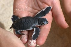 I LOOOVE baby sea turtles!!  Just about the CUTEST things I've ever seen