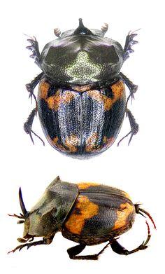 Onthophagus bifasciatus
