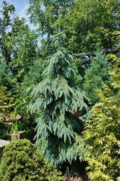 Picea engelmanii Bushs Lace (2) by KarlGercens.com, via Flickr