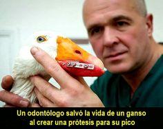 Un odontólogo salvó la vida de un ganso al crear una prótesis para su pico | OVI Dental