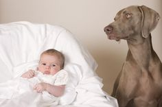 Balancing the relationship between your dog and new baby can be difficult. Here are some tips for keeping your baby safe around dogs. Weimaraner, Socializing Dogs, Dog Whisperer, Virtual Pet, Baby Kind, Baby Safe, Baby Dogs, Doggies, Dog Behavior