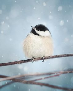 Fine art bird photography print of a puffed out little chickadee in the snow by Allison Trentelman.