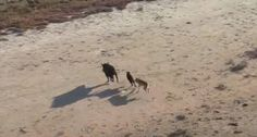 This incredible footage taken in northern Australia may be the first-ever instance of a dingo hunting feral hogs captured on video.