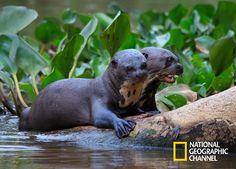 O coração da América do Sul esconde um remoto e secreto mundo, um paraíso. Brasil Secreto, Pantanal. #NatGeo Confira conteúdo exclusivo no www.foxplay.com