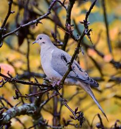 Mourning dove - we have two couples that come to our feeders.