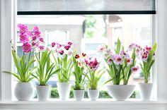 De Miltonia behoort tot de grote groep van orchideeënsoorten. De bloemen van de Miltonia zijn absolute blikvangers, ze zijn groot en kleurig. Denk aan wit, roze, rood, maar ook combinaties...