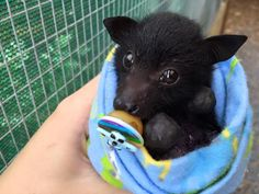 Baby bat in blue snuggly wrap with pacifier and direct soft eye gaze