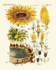 Sunflower Print 11 Botanical Wall Art Print Beautiful Yellow Flower Chart Petals Seeds Summer Garden
