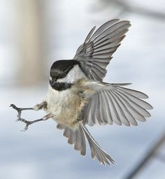 Landing of Black- Capped Chickadee | Flickr - Photo Sharing!