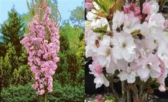 1X-8FT-EXTRA-LARGE-PRUNUS-AMANOGAWA-FLAGPOLE-FLOWERING-CHERRY-TREE-10L