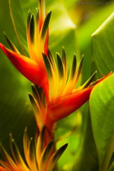 Heliconia flowers, Maui, Hawaii