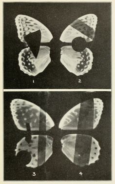 "nemfrog: ""Butterflies of the District of Columbia and Vicinity. 1877. """