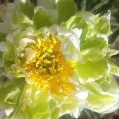 Green Halo Flower