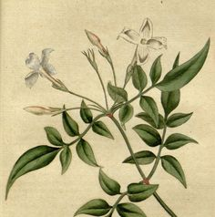 Nature botanical, Botanic illustration, Wall art botanical, 31