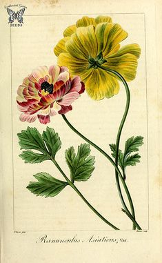1845 Flore Des Serres Lithograph Relieving Heat And Thirst. Grapes Provided Van Houtte