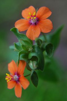 "Scarlet Pimpernel (by geebeezz) ~ Miks' Pics ""Flowers l"" board @ http://www.pinterest.com/msmgish/flowers-l/"