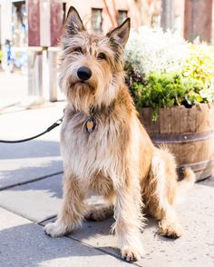 "Helo Berger Picard (3 y/o) Perry & Bleecker St. New York NY ""He's a total goofball but he's going through some hormonal changes. We were like 'Oh we don't have a horny dog at all!'. Then suddenly it's like being pulled by a jet ski down the street. I also can't say enough about a raw diet his coat is better and he's calmed down. It's expensive but the shift is incredible."" #thedogist"