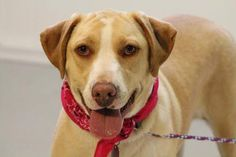ADOPTED>NAME: Lola  ANIMAL ID: 21183378  BREED: Retriever  SEX: female (spayed)  EST. AGE: 2 yr  Est Weight: 60 lbs  Health: heartworm neg  Temperament: dog friendly, people friendly  ADDITIONAL INFO: RESCUE PULL FEE: $49  Intake date: 2/13  Available: Now