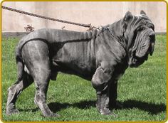 A list of the top ten large dog breeds includes the biggest dogs like the Great Dane, Irish Wolfhound and Mastiff by size and height Tibetan Mastiff, Mastiff Breeds, Huge Dogs, I Love Dogs, Napoleon Mastiff, Beautiful Dogs, Animals Beautiful, Neopolitan Mastiff, Animals