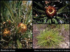Banksia nivea (honeypot dryandra) Small shrub 1m high x 1m across. Neat dome shape. Orange / bronze flowers inside bush. Full sun / part shade All soils