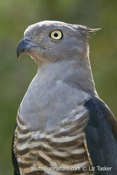 Crested Hawk aka the Pacific baza (Aviceda subcristata) - This species lives in tropical and sub-tropical forest and woodlands of N and E  Australia as far south as Sydney. It preys mainly on insects such as stick insects in the tree canopies Photo by Elizabeth Tasker / Wildlife Images