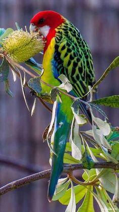 Eastern Rosella , Perruche omnicolore, (Platycercus eximius) Found in Australia, Tasmania & New Zealand Pretty Birds, Beautiful Birds, Animals Beautiful, Cute Animals, Small Animals, Beautiful Places, Beautiful Pictures, Kinds Of Birds, All Birds