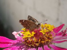 Butterfly on a pink Daisy II by SpikeTheRipper