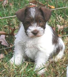 white schnauzer | Taylor's Toy Schnauzers - Liver, White Chocolate & Parti Puppies