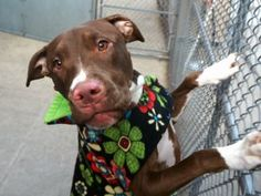SAFE 1/10/17  AMSTERDOG ANIMAL RESCUE   **SILK**TBD 01/10/17   Silk is affectionate to the extreme. As we walked, she would whimper and jump up to be petted. It was quirky, yet endearing. Once I started petting her she would sit right down. She begged for constant petting during the whole walk. She's most definitely a