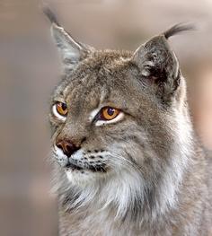 Lynx Lynx Lynx!