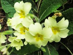 Beautiful Primrose. Such a lovely feature of the woodlands and hedgerows around Snowdonia. Bodnant gardens photography
