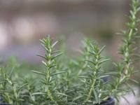 Rosemary: Planting, Growing, and Harvesting | The Old Farmer's Almanac