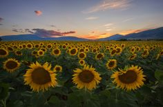 Sunflowers in sunset by Dimitrios Katrantzis on 500px