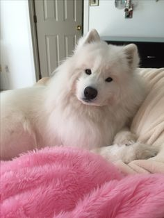 I see Anya is not the only fluffy white dog who loves fuzzy pink blankies