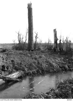 Observation tree used by Australians near Messines.