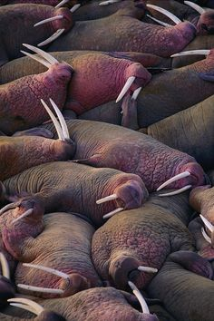 A puddle of sleeping walruses