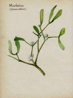 Mistletoe botanical print from VintageAndNostalgia on Etsy.