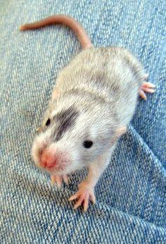 Cute baby rat!