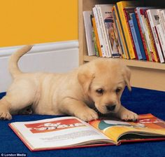 Engrossed: It looks as though this cute labrador puppy is getting stuck into an appropriate read - 101 Dalmations