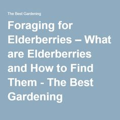 Foraging for Elderberries – What are Elderberries and How to Find Them - The Best Gardening